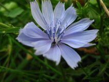 common-chicory-flower Royalty Free Stock Image