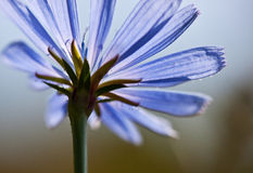Common chicory flower, Cichorium intybus Royalty Free Stock Image