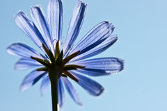 Common chicory flower, Cichorium intybus Royalty Free Stock Photography