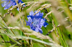 Common chicory Royalty Free Stock Image
