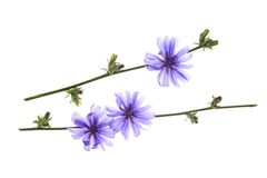 Common chicory Stock Images