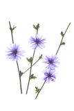 Common chicory Stock Photo
