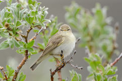 Common chiffchaff Stock Photos