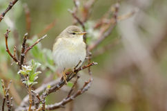 Common chiffchaff Royalty Free Stock Photo