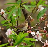 Common chiffchaff on almond tree in flowering Stock Image