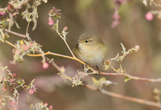 The common chiffchaff Royalty Free Stock Photos