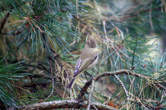 Common Chiffchaff Bird Royalty Free Stock Images