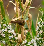 Common chiffchaff on cane stalks  and echium flowers Stock Photography