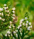 Common chiffchaff among clusters of  echium flowers Royalty Free Stock Photography