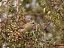 Common chiffchaff stock images
