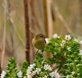 Common chiffchaff on echium flowers Stock Photo