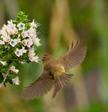 Common chiffchaff in flight to echium wildflowers Stock Photo