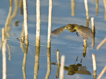 A Common Chiffchaff flying over the water Royalty Free Stock Image