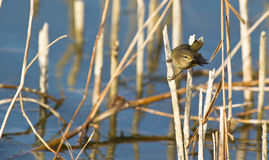 A Common Chiffchaff holding on a stick Royalty Free Stock Photos