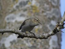Common chiffchaff Phylloscopus collybita Royalty Free Stock Image