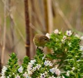 Common chiffchaff looking above cluster of echium flowers Stock Image