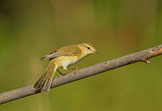 Common Chiffchaff Royalty Free Stock Image
