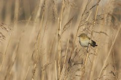 Common Chiffchaff. (Philloscopus collibyta) in the reeds of the marsh Stock Images