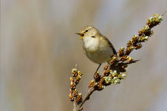 A Common Chiffchaff (Philloscopus collybita) Royalty Free Stock Photos