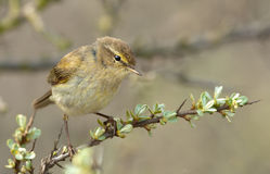 A Common Chiffchaff (Philloscopus collybita) Royalty Free Stock Image