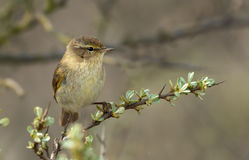 A Common Chiffchaff (Philloscopus collybita) Royalty Free Stock Photography