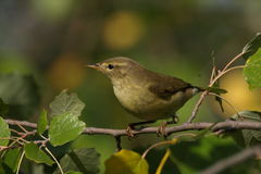 Common Chiffchaff, phylloscopus collybita Stock Photos