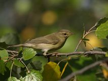 Common Chiffchaff, phylloscopus collybita. The Common Chiffchaff, or simply the Chiffchaff, Phylloscopus collybita, is a common and widespread leaf-warbler which Stock Images