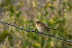 Common Chiffchaff, Phylloscopus collybita, on barbed wire fence. Common Chiffchaff, Phylloscopus collybita, sitting on a barbed wire fence looking left and Royalty Free Stock Images