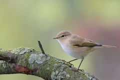 Common chiffchaff. Phylloscopus collybita. Royalty Free Stock Images