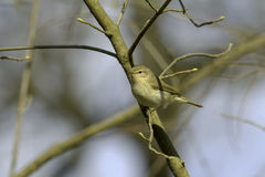 Common Chiffchaff  /  Phylloscopus collybita Stock Photos