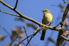Common chiffchaff Phylloscopus collybita on a branch against t. He blue sky, a small bird from the family of leaf warbler, close up portrait Royalty Free Stock Image