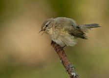 Common chiffchaff  (Phylloscopus collybita) Stock Photography