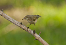 Common chiffchaff  (Phylloscopus collybita). On the branch of tree Stock Photos