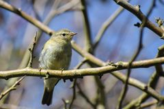 Common chiffchaff Phylloscopus collybita in the branches again. St the blue sky, a small bird from the family of leaf warbler, close up portrait Royalty Free Stock Image