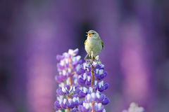 Free Common Chiffchaff, Phylloscopus Collybita, Singing Singing In The Beautiful Violet Lupinus Flower. Bird In The Nature Meadow Habit Royalty Free Stock Photo - 80548495