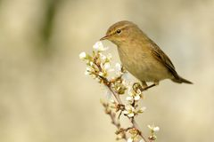 Common Chiffchaff (Phylloscopus collybita) Stock Image