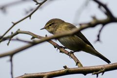 Common chiffchaff Phylloscopus collybita in the twigs, a small. Bird from the family of leaf warbler, close up Stock Image