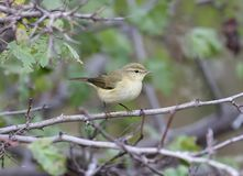 The common chiffchaff Phylloscopus collybita  in winter plumage. Sits on the branch Stock Image