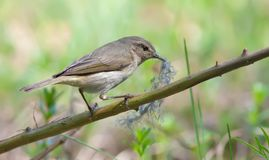Common Chiffchaff posing with material in beak for nest building stock photos