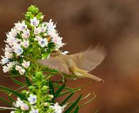 Common chiffchaff in static flight  on cluster of echium flowers Royalty Free Stock Image