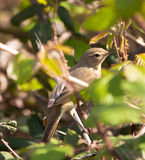 Common Chiffchaff under cover Stock Image