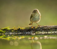 Common chiffchaff Royalty Free Stock Photography