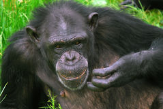 Common Chimpanzee. Closeup picture of a Common Chimpanzee at rest Royalty Free Stock Photos