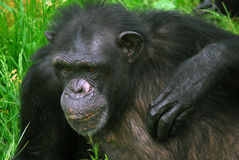 Common Chimpanzee Stock Photo
