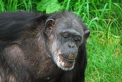 Common Chimpanzee. Closeup picture of a Common Chimpanzee at rest Stock Photography