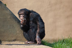 Common Chimpanzee. A photo of a chimpanzee scratching his face Stock Photo