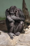 Common chimpanzee Royalty Free Stock Image