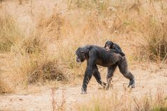 Common chimpanzee with a baby chimpanzee royalty free stock image