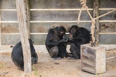 Common chimpanzee with a baby chimpanzee and an old one. A worried Common chimpanzee sits at an old chimpanzee with lots of love she looks at him stock photos