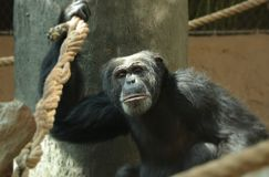 A common chimpanzee climbing on the tree and with one hand holding for rope and looking into camera. He has black skin and. Somewhere has grey fur stock photography